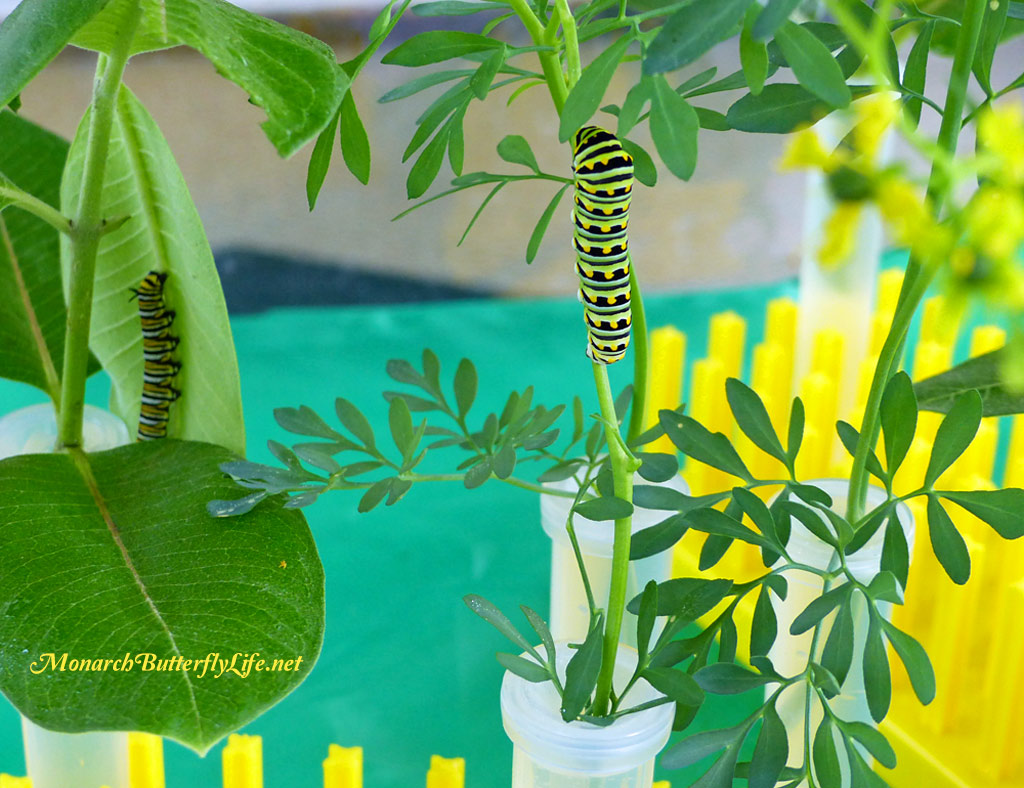 Eastern black swallowtail caterpillars can feed on a variety of host plants, including common rue. Discover other host plants you can grow in your garden to support them...