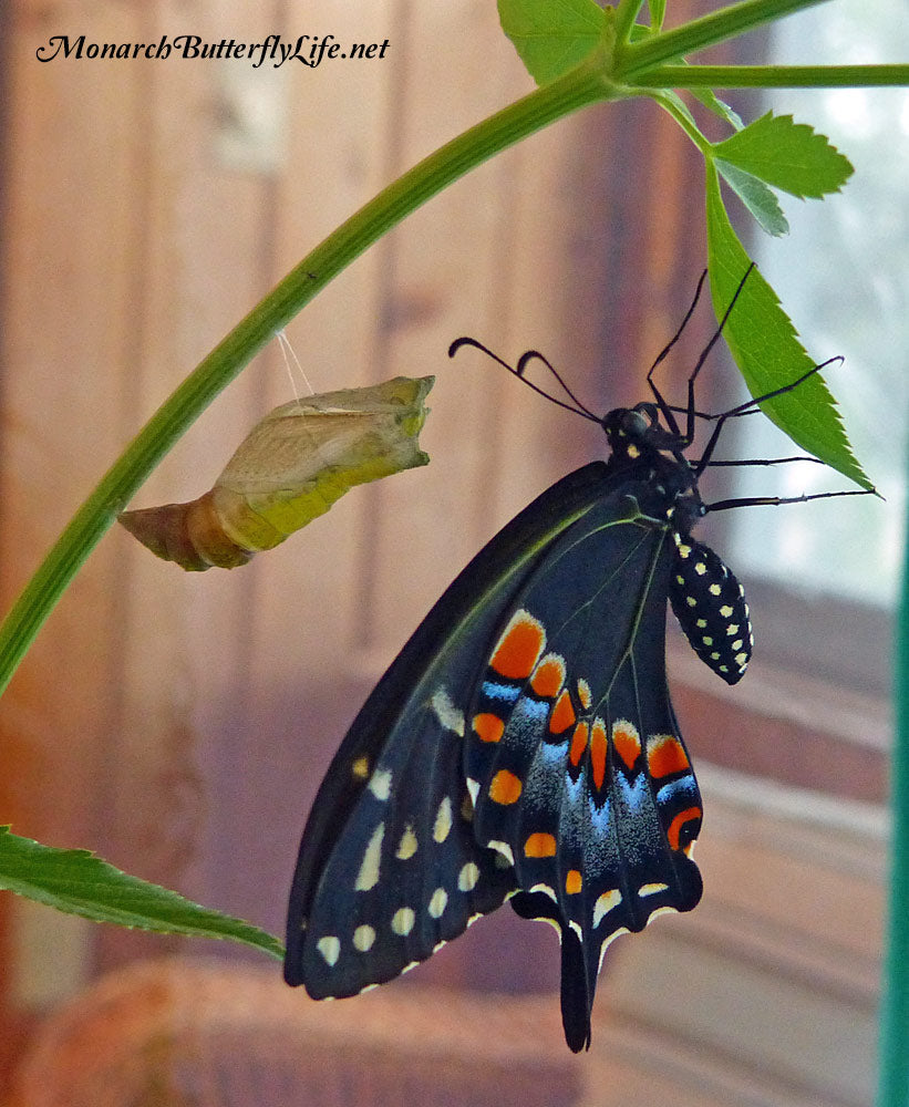 Eastern black swallowtails must hang down for their wings to dry properly after emerging from a chrysalis. This is a vulnerable part of metamorphosis, so make sure they can dry in a safe place if raising them.