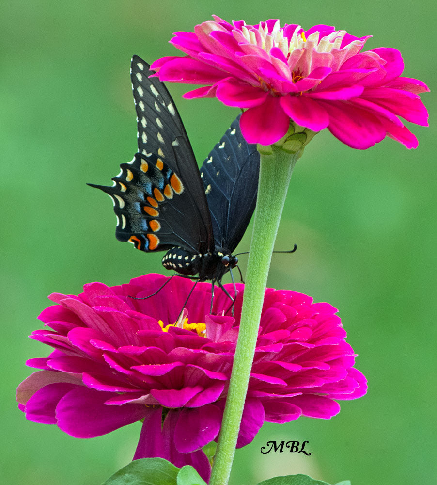 An eastern black swallowtail adds more beauty to the butterfly garden- learn how to raise them through the butterfly life cycle and release them in yours...