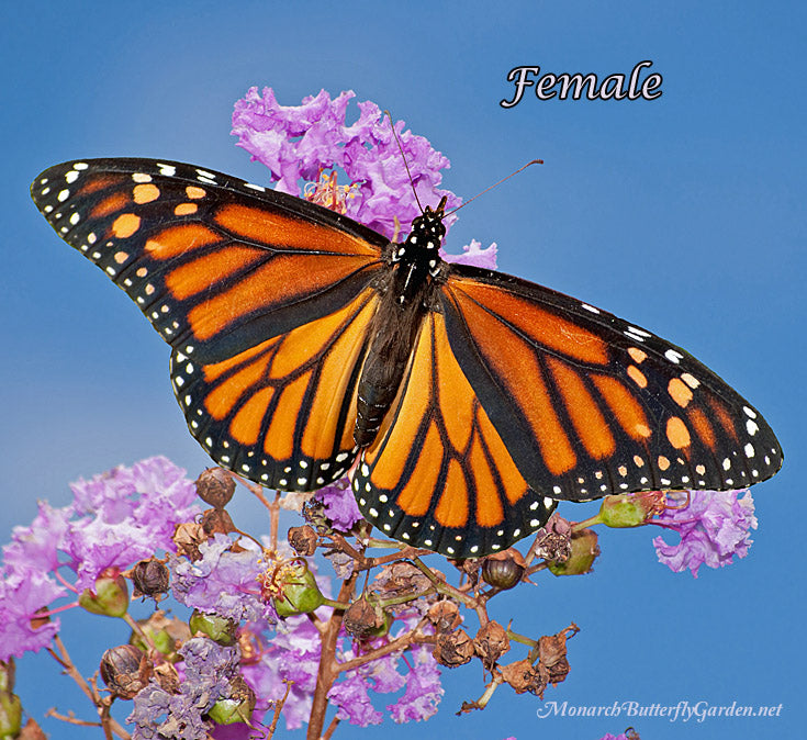 How Does this Monarch Female look Different from her Male Counterpart? See photos that illustrate the differences...