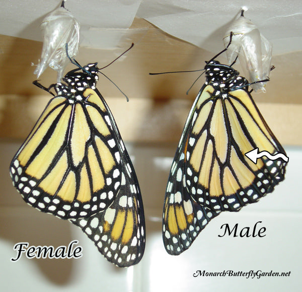 How To Tell the Difference between a Monarch Male and Female with Closed Butterfly Wings?