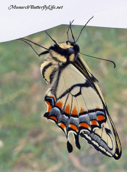 When your overwintering swallowtail chrysalis emerges in spring, let the newborn butterfly dry its wings outside inside a mesh cage so it will be safe from predators. Then, open the cage door and let your butterfly fly free to begin a new season of swallowtail butterflies. Get more info on overwintering swallowtail chrysalises...