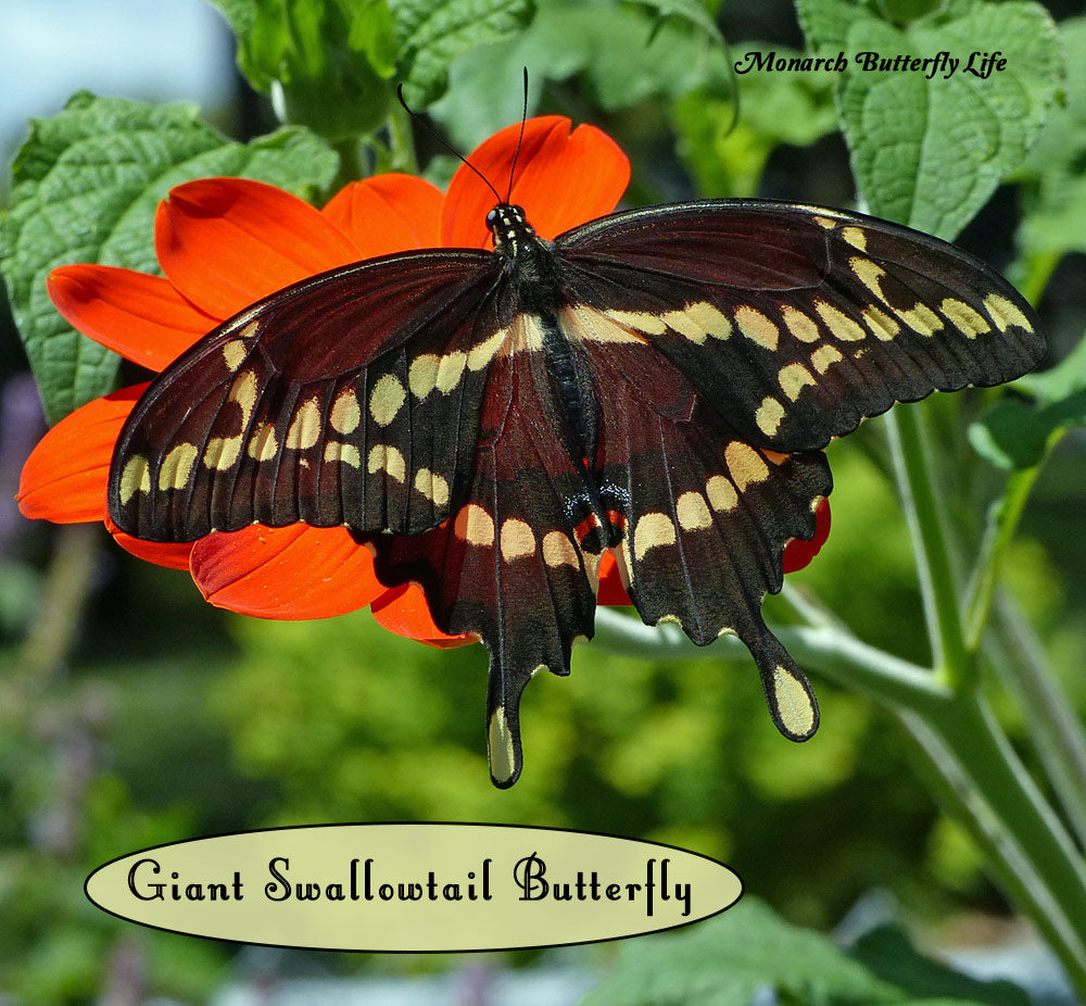 How to Raise Giant Swallowtail Butterflies for Release back to Nature. Support the Butterfly Life Cycle and Save the Butterflies!