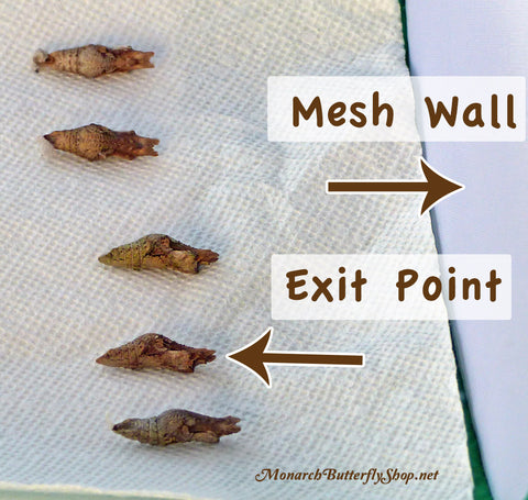 If a giant swallowtail chrysalis is laying flat on the floor of a mesh cage, a newly emerged butterfly can crawl over to a mesh wall and climb to dry its wings. More overwintering info...