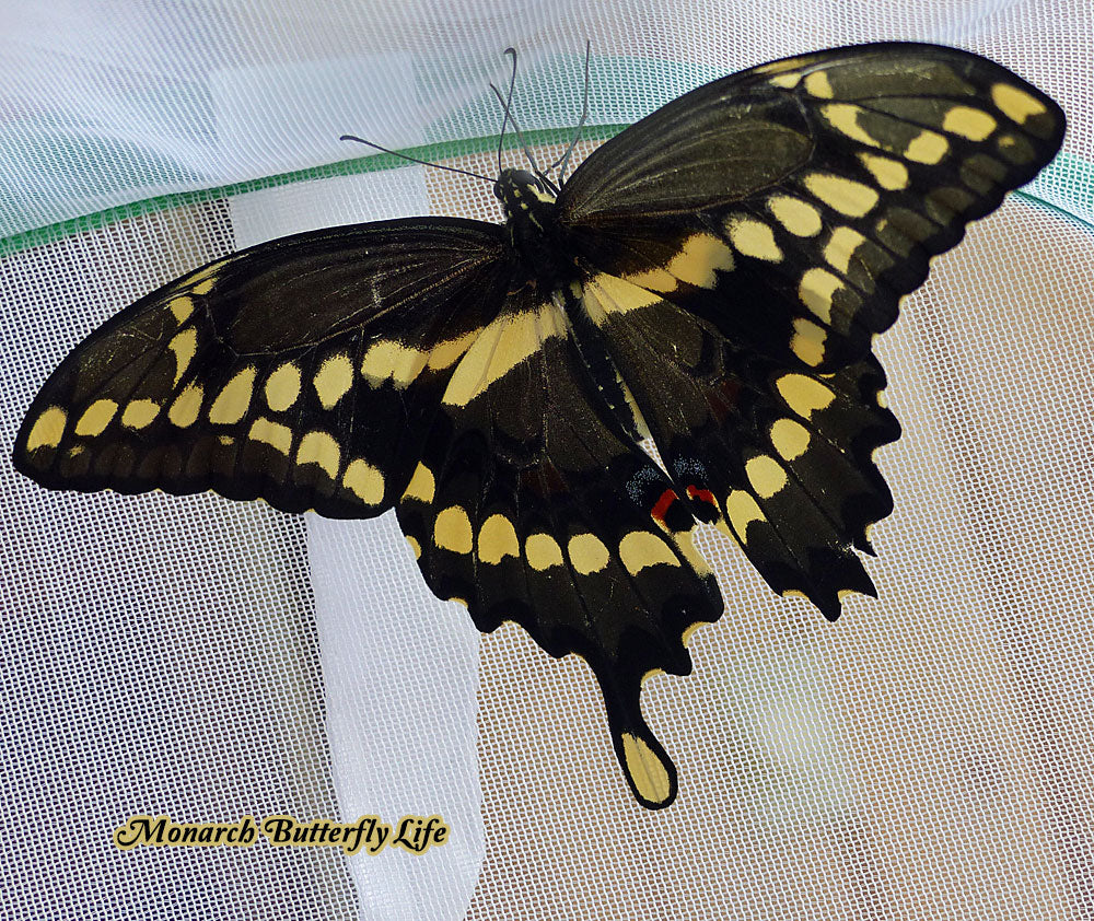 It's only a matter of time before many swallowtails lose one or both of their tails. Thankfully, this doesn't affect their ability to fly.