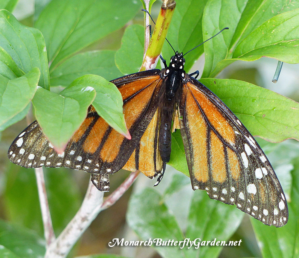 Raise the Migration- Laying Monarch Eggs