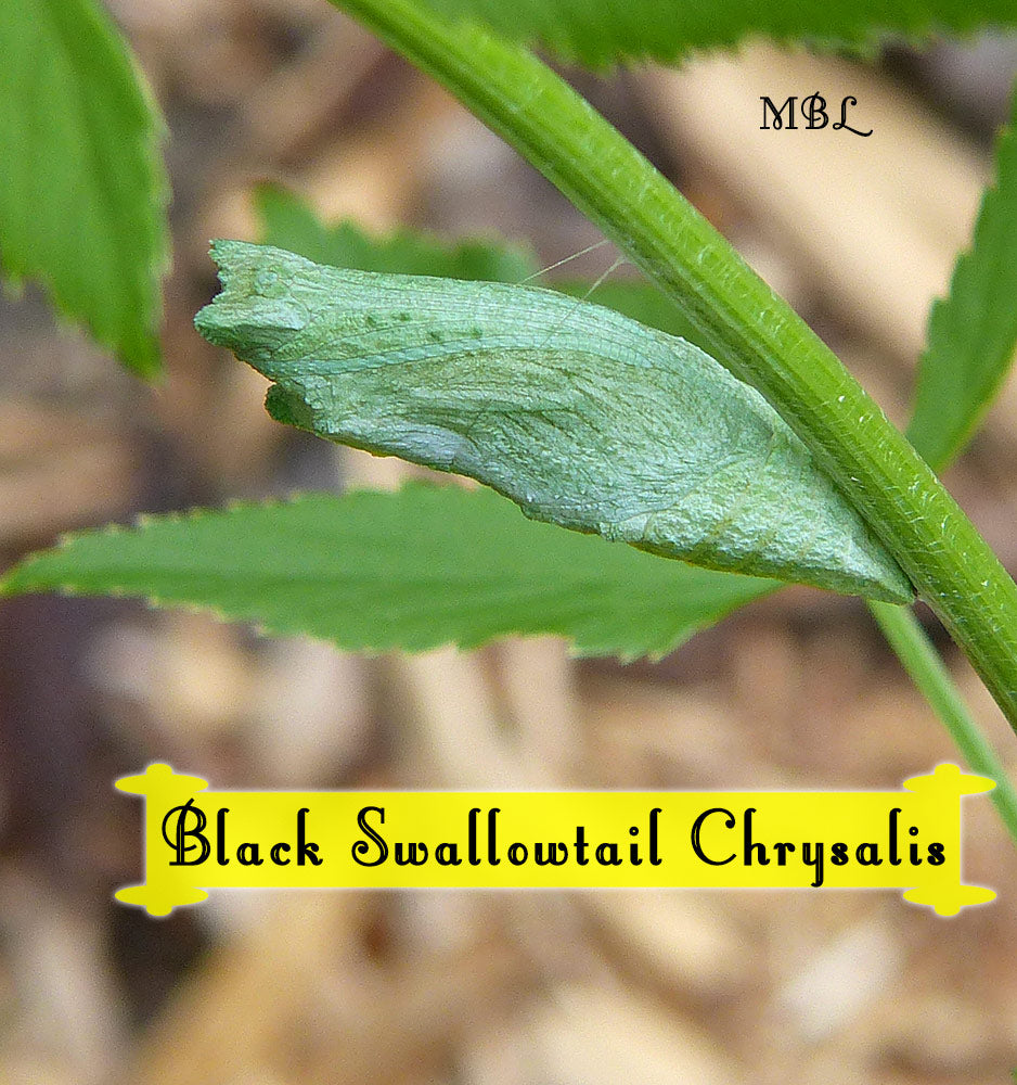 Eastern black swallowtail chrysalises are often green in spring, which many believe is a defense mechanism against predators which allows them to go unnoticed against the spring background. See what emerges...