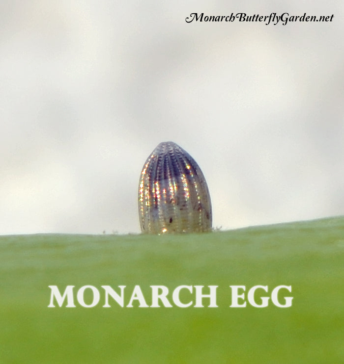 A healthy monarch egg will turn dark on top a few hours before hatching. This is the baby monarch caterpillar's head about to eat its way to freedom...