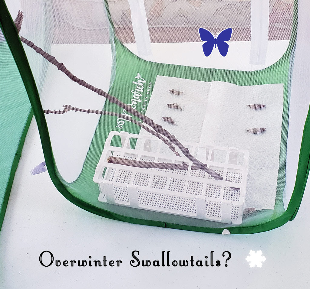 Not sure how to keep your swallowtail chrysalises safe over winter? This method has worked really well for us, and could work for your overwintering swallowtails too...