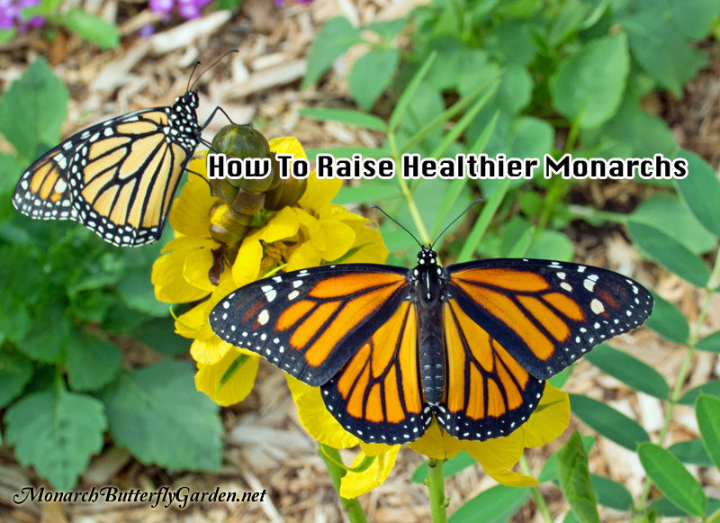 How to Raise Healthy Monarch Butterflies for Release- Monarch Diseases, Parasites, and Prevention Info