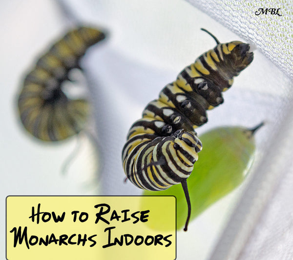 Discover How to Raise Monarch Butterflies Inside to increase their survival rate from under 5% to over 90% with these indoor raising tips.