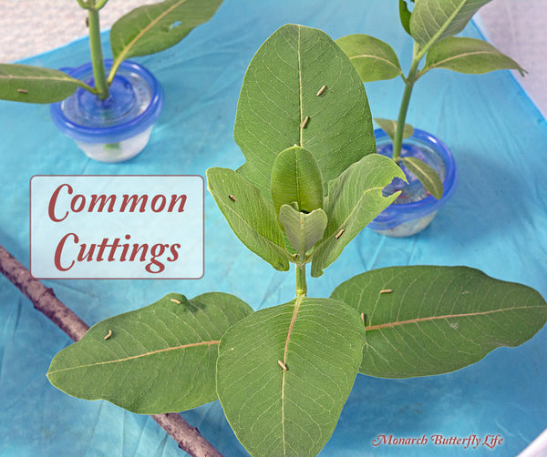 Use milkweed stem cuttings to keep milkweed fresh for days when raising monarch butterflies inside.