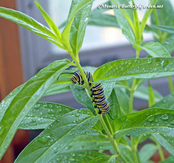 If you raise monarch butterflies indoors, rinse and spritz their milkweed with water to reduce the risk of disease and to keep your growing caterpillars hydrated. More tips on how to raise monarch butterflies inside...