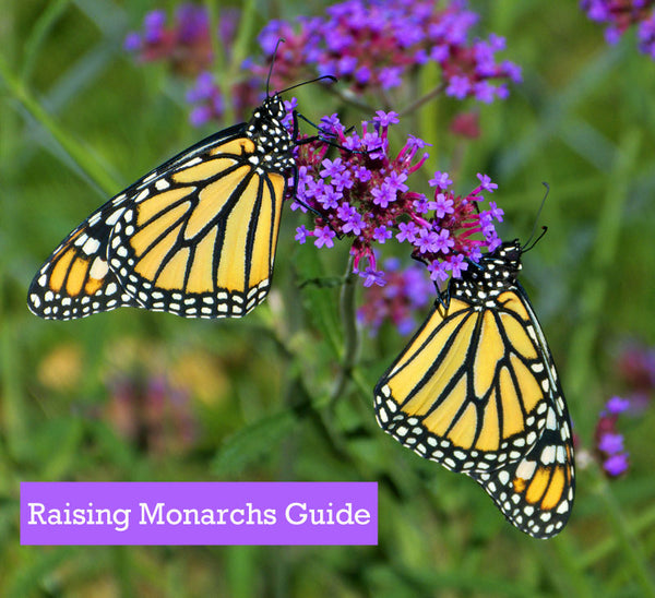 How To Raise Monarchs Book- Drying Butterfly Wings