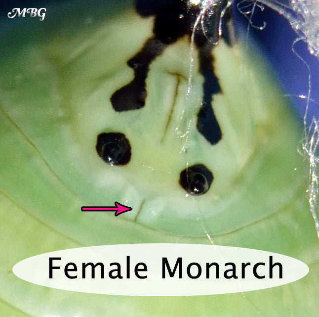 How can you tell the sex of a monarch by looking at its chrysalis? Male vs Female Chrysalis and Butterfly Photos