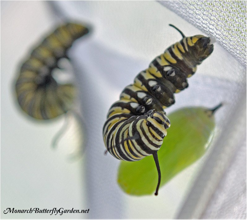 J Monarch Caterpillar Hanging from Silk button Pupation Pad