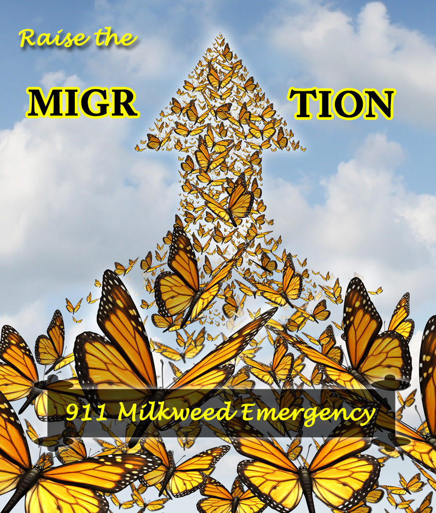 Care for Large Monarch Caterpillars + Milkweed Emergencies- Raise The Migration