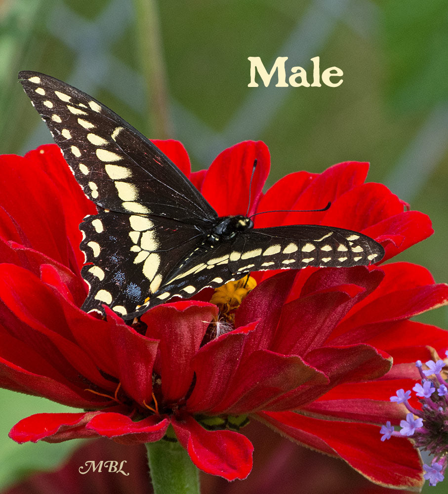 The male eastern black swallowtail has more prominent yellow markings, and less blue hindwing hue than his female counterpart. Check her out here...