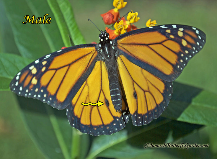 Close Up Butterfly Photos that Illustrate the Differences between Monarch Males and Females