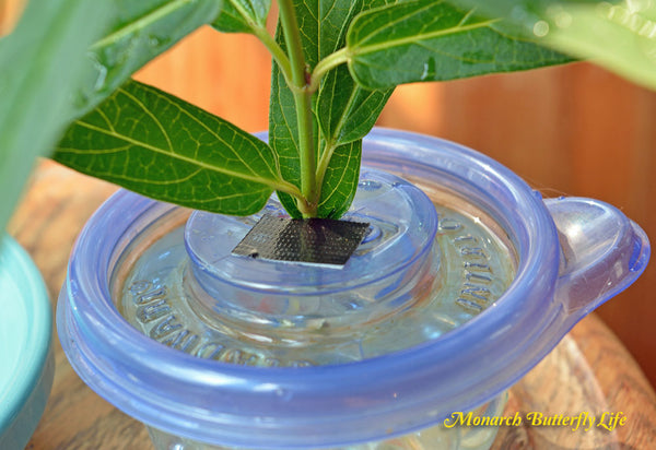 When using milkweed stem cuttings inside food containers to feed caterpillars, we use duct tape to cover any open areas to prevent accidental drownings.