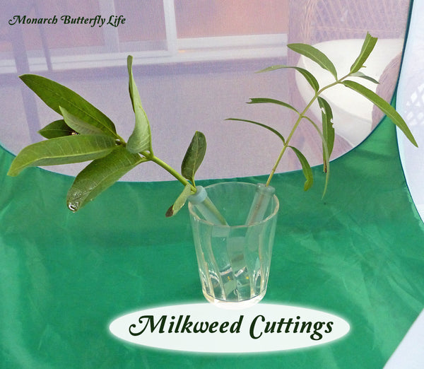 When feeding monarch caterpillars milkweed cuttings, keep your floral picks elevated so they don't leak, and so caterpillars aren't crawling around in potentially disease-causing frass. More ways you can use stem cuttings to feed monarch caterpillars...