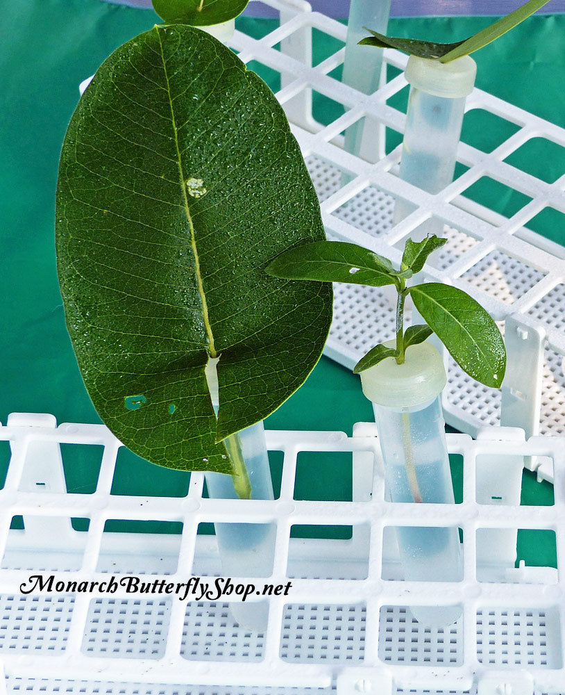 To transfer baby caterpillars from one milkweed leaf or cutting to another place a floral tube next to another one and let them crawl over. More info on growing monarch caterpillars...