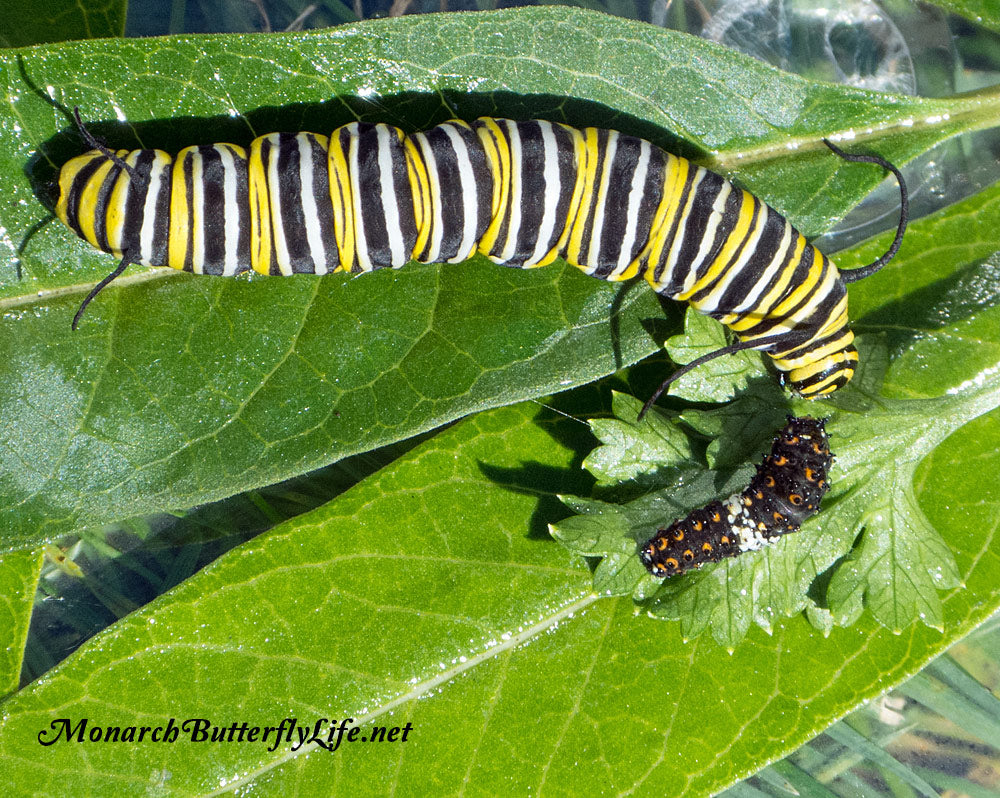 is it OK to Raise Black swallowtails and Monarchs together in the same Raising Cage? This is what we do...