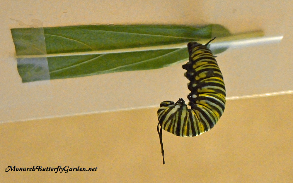 Raising Monarch butterflies through the butterfly life cycle- What can you do if a caterpillar decides to pupate on a milkweed leaf + other common chrysalis problems