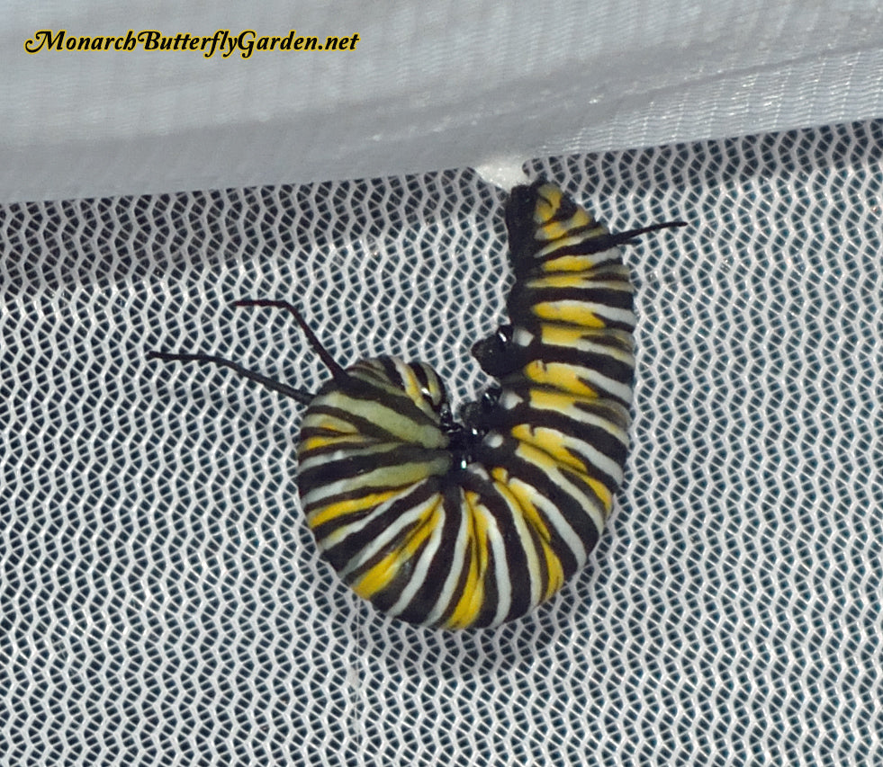 Monarch Caterpillar Healthy Development Pre Chrysalis