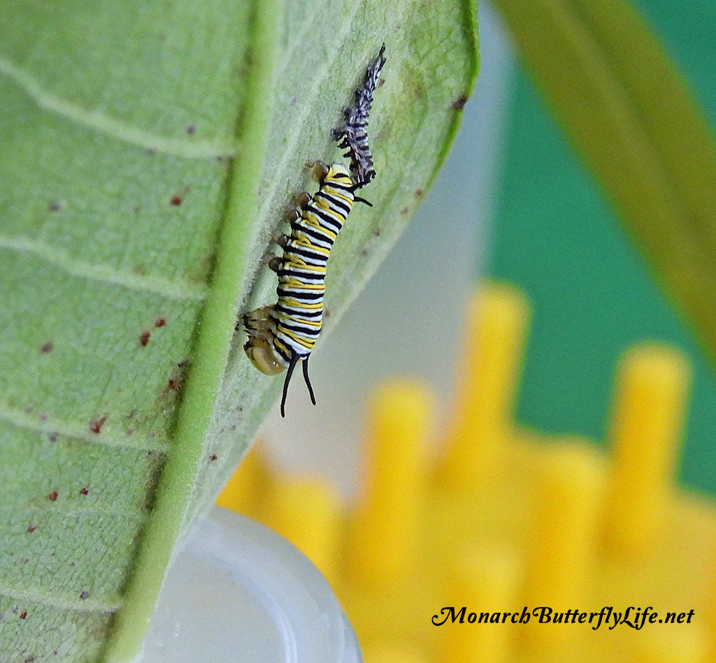 A Monarch Caterpillar After Shedding its skin and face cap