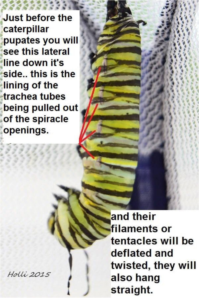 Signs a monarch caterpillar is about to form a chrysalis