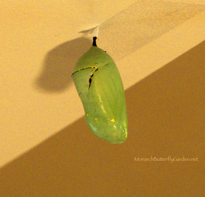 Illness or Injury? Monarch Chrysalis with extra black lines