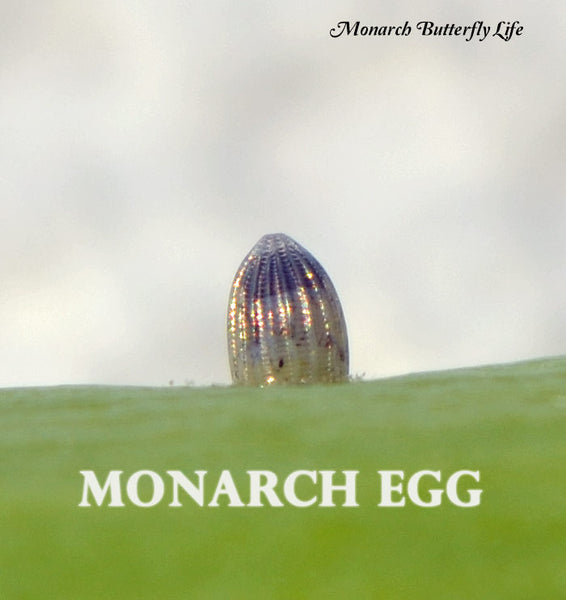 The top third of a monarch egg will turn dark shortly before the baby caterpillar hatches. This is the caterpillar's head about to eat through its shell to enter the next stage of monarch metamorphosis.