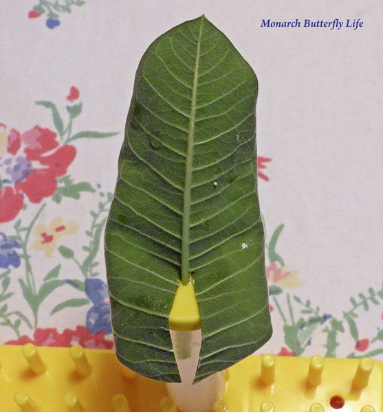 Monarch Egg Tip- Cut back leaf to the midrib to stick singles leaves deeper into floral tubes for less refilling.