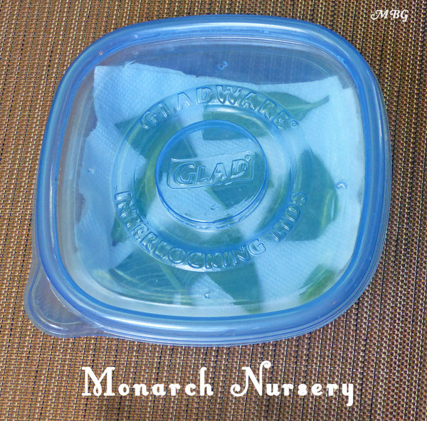 Use household food containers as a nursery to hatch monarch eggs- prevent milkweed from drying out