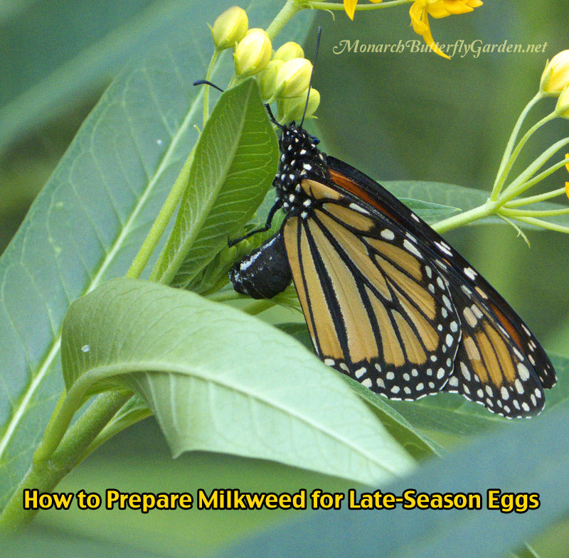 How To Prepare Late-Season Milkweed Plants for Monarch Eggs