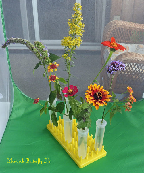 What to Feed Monarch Butterflies? Try nectar flowers in floral tubes