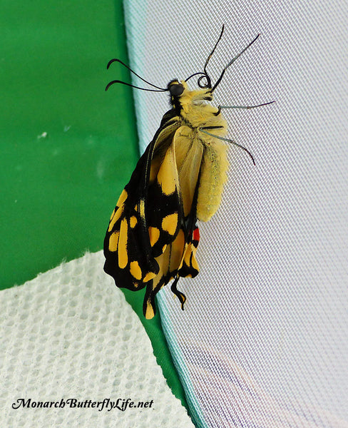 If a giant swallowtail chrysalis is laying flat on the floor of a mesh cage, a newly emerged butterfly can crawl over to a mesh wall and climb to dry its wings. More overwintering swallowtails info...