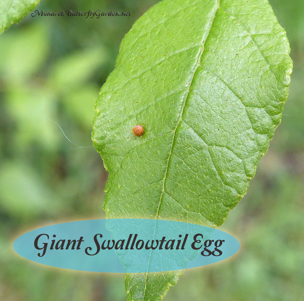 Giant Swallowtail eggs are some of the easiest butterfly eggs to find with orange against a contrasting green background. Find out how to make sure these orange eggs hatch into baby giant swallowtail caterpillars.