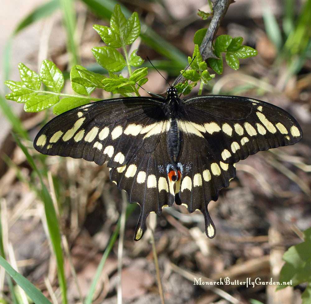 A Giant Swallowtail is released in Spring. She survived the entire Minnesota winter in a frigid 3-season porch. Learn more about overwintering swallowtail chrysalides so you can release butterflies in spring...
