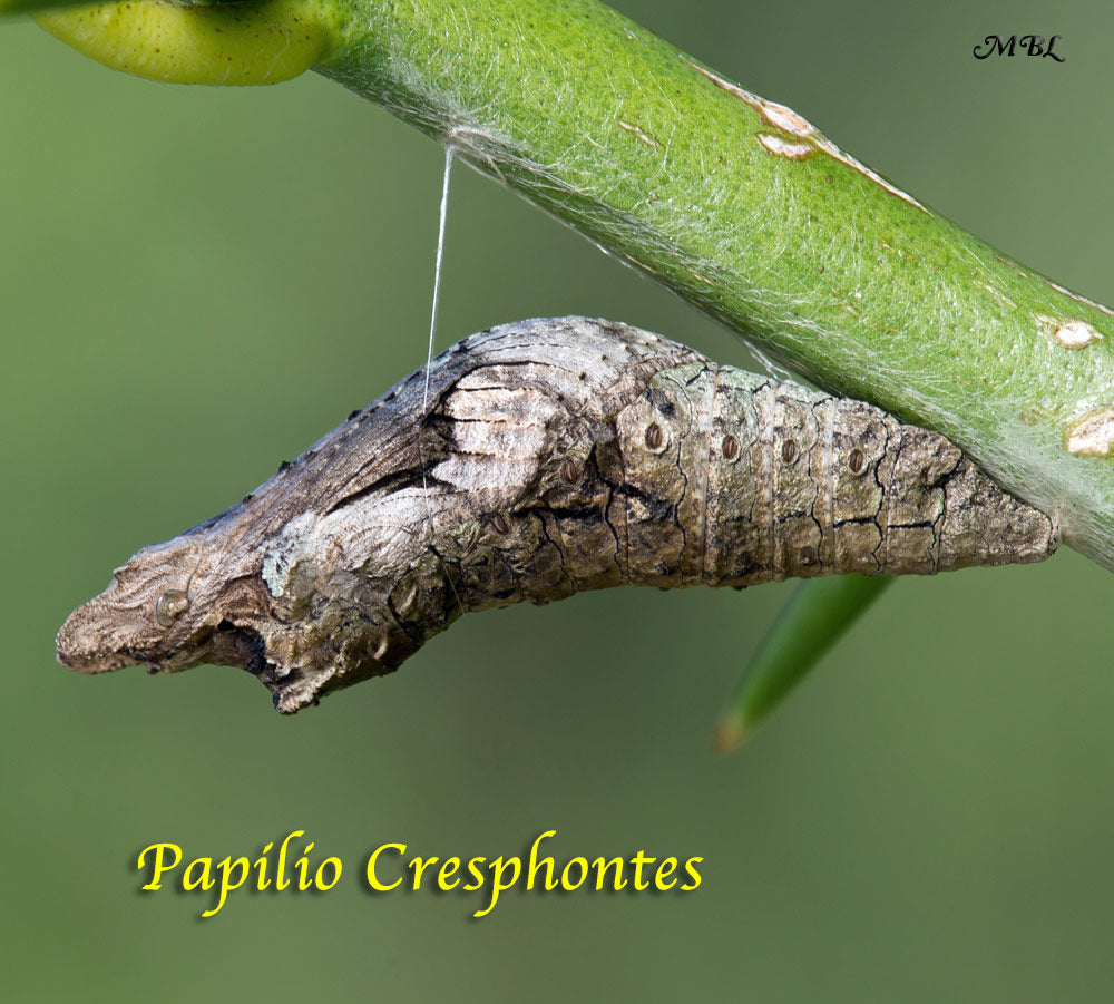 Giant Swallowtail Butterfly Life Cycle Stage 3- Chrysalis