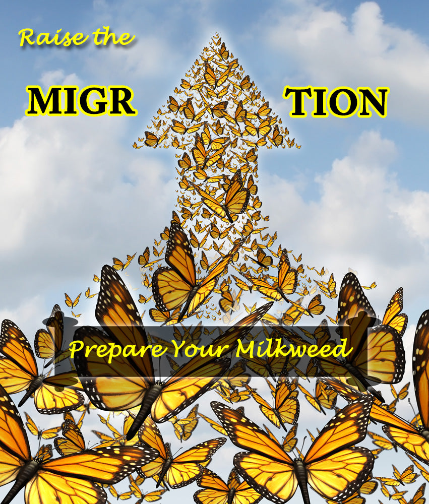 How to Prepare Milkweed for Raising Monarch Butterflies- Raise The Migration