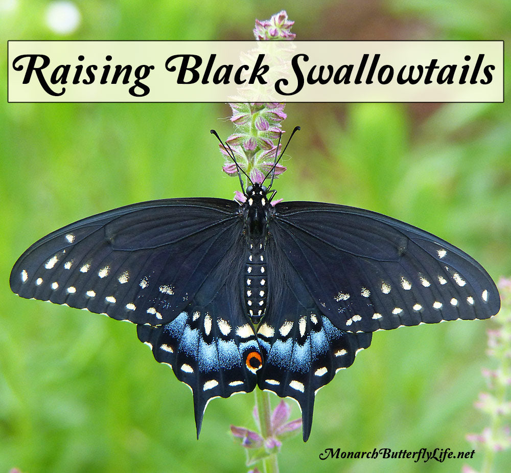 Raising the Eastern Black Swallowtail Butterfly- A Photographic Adventure from Black Swallowtail Egg to Beautiful Butterfly