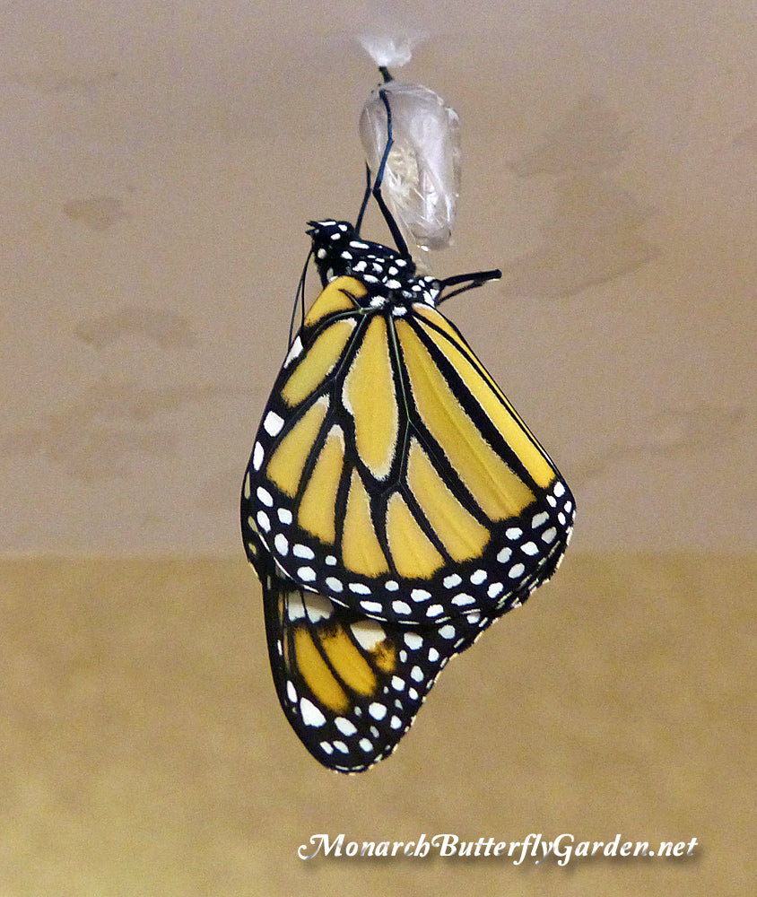 Raise the Migration- Share your success, failure, and lessons learned raising monarch butterflies.