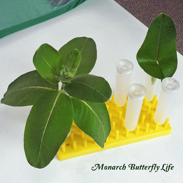 Resources for Raising Monarch Caterpillars through the Butterfly Life Cycle- Large Floral tubes with Holding Racks to feed caterpillars milkweed