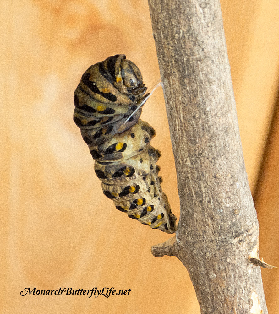 This diseased (possibly parasitized) black swallowtail caterpillar did not survive to the chrysalis stage of the butterfly life cycle. See what a healthy caterpillar looks like here...