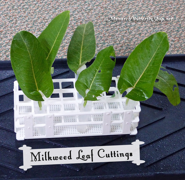 Common Milkweed Leaf Cuttings...the ultimate set up for monarch eggs and baby caterpillars...with a minor leaf adjustment.
