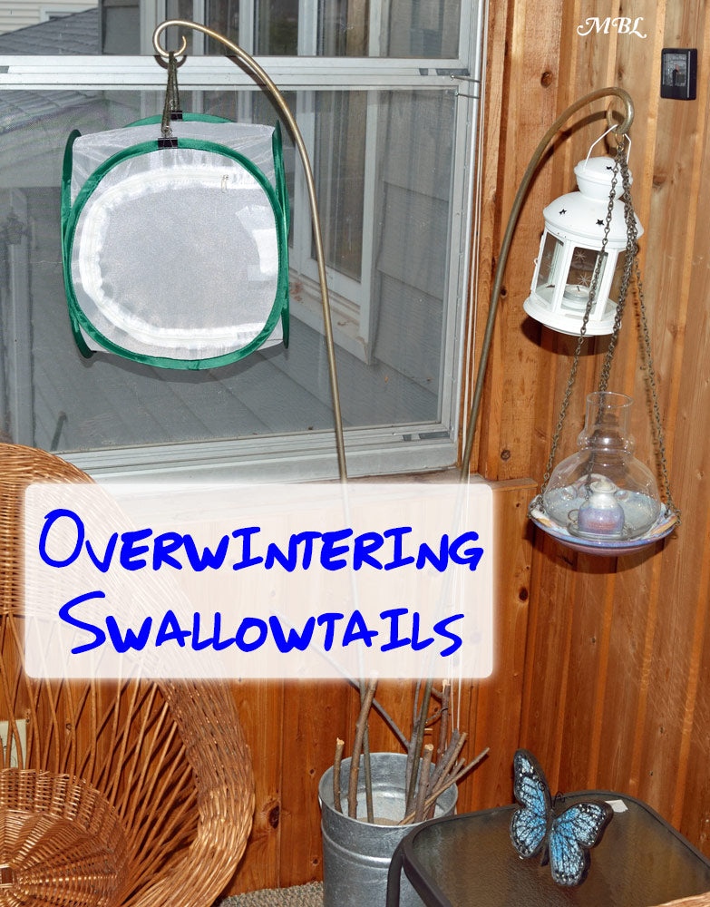 Overwinter your swallowtail chrysalis in a cold place so the butterfly doesn't emerge in the dead of winter + other helpful overwintering tips...