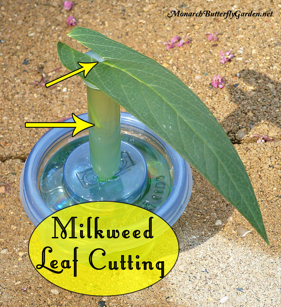 One milkweed leaf can sustain a baby monarch caterpillar for up to seven days if you use single leaf cuttings. Here's how to make it work and stop wasting milkweed.