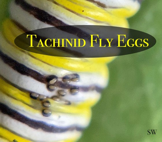 tachinid fly eggs on a monarch caterpillar. Macrophotography reveals what is often undetected by the naked eye.